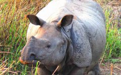 kaziranga national park, horned rhino, rhino, india, kaziranga,assam