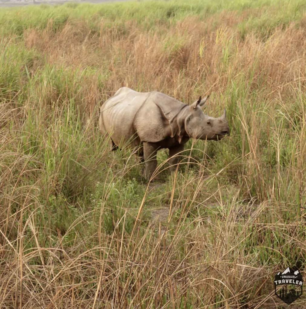 kaziranga national park, horned rhino, rhino, india, kaziranga,assam