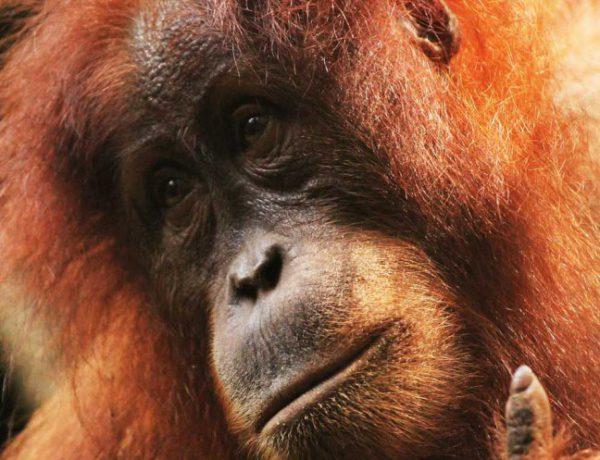 #Orangutan #ape #monkey #indonesia #sumatra #bukit_lawang