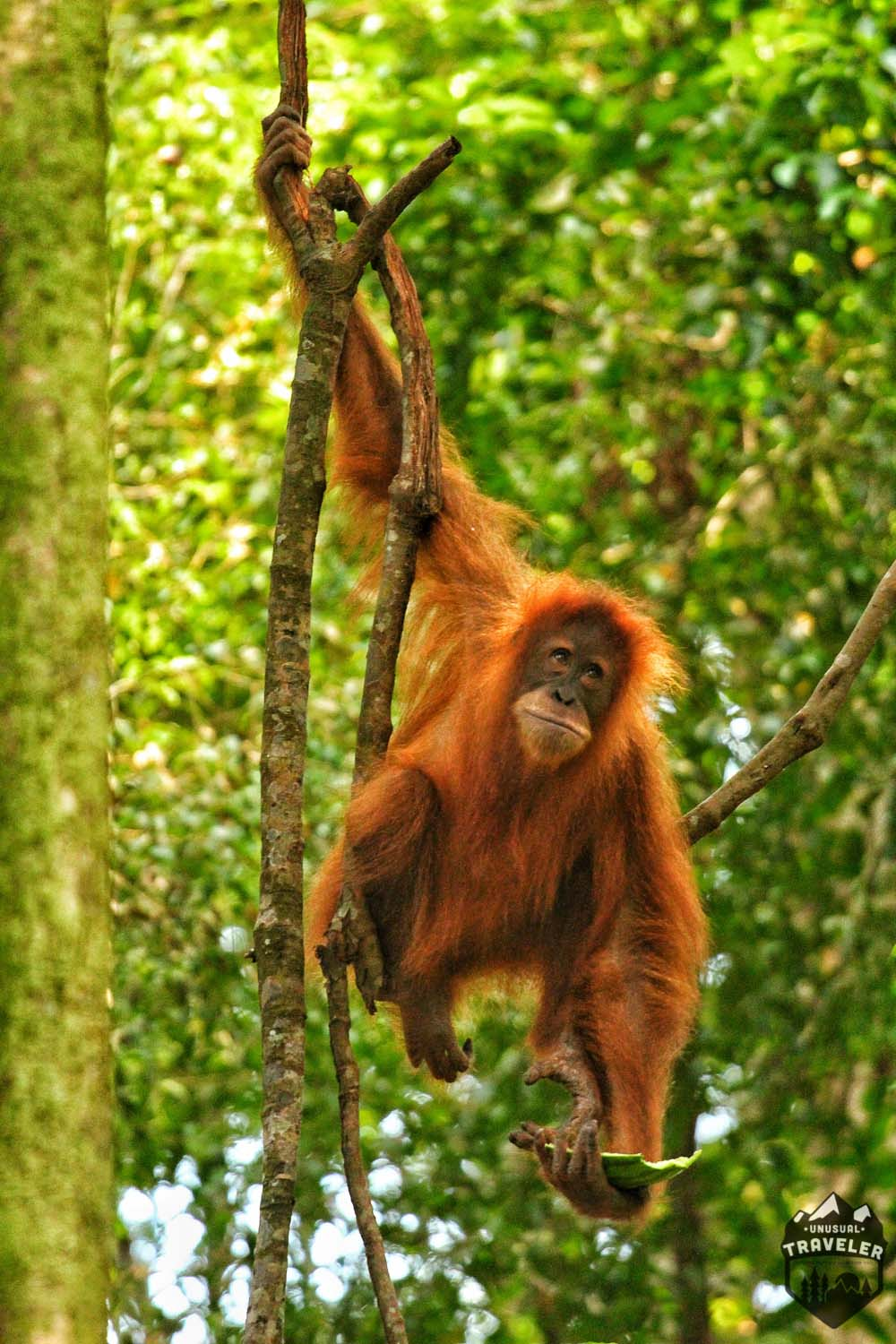 Travel guide to see Orangutan Sumatra Indonesia
