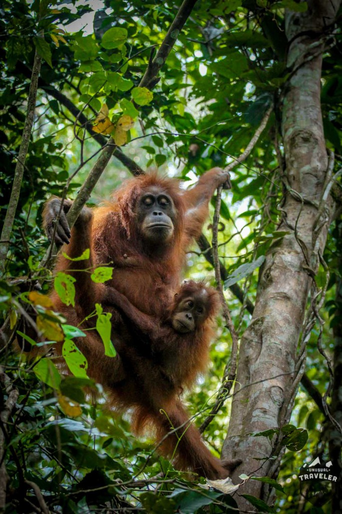 Orangutan,ape,moneky,indonesia,sumatra