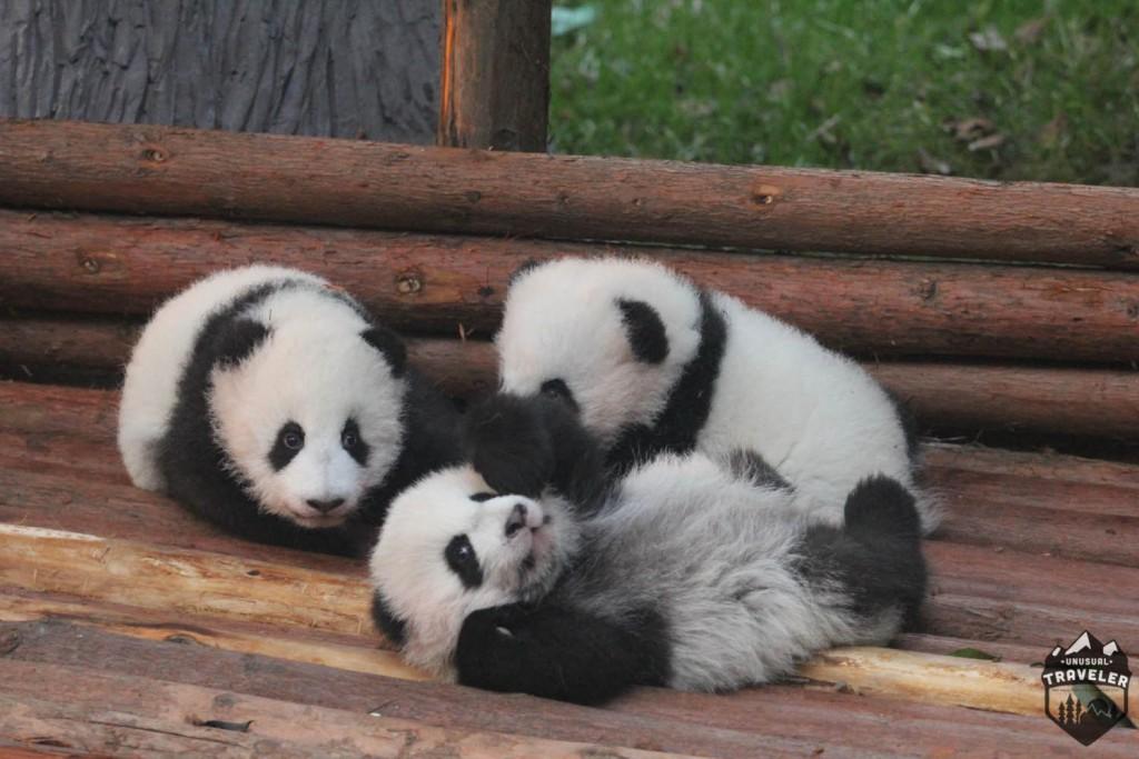 #Panda #Panda_cubs #Chengdu #China