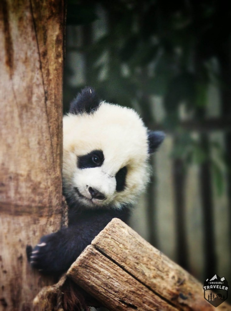 #Panda #Chengdu #China #Cute