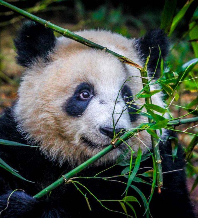#panda #bamboo #chengdu #china