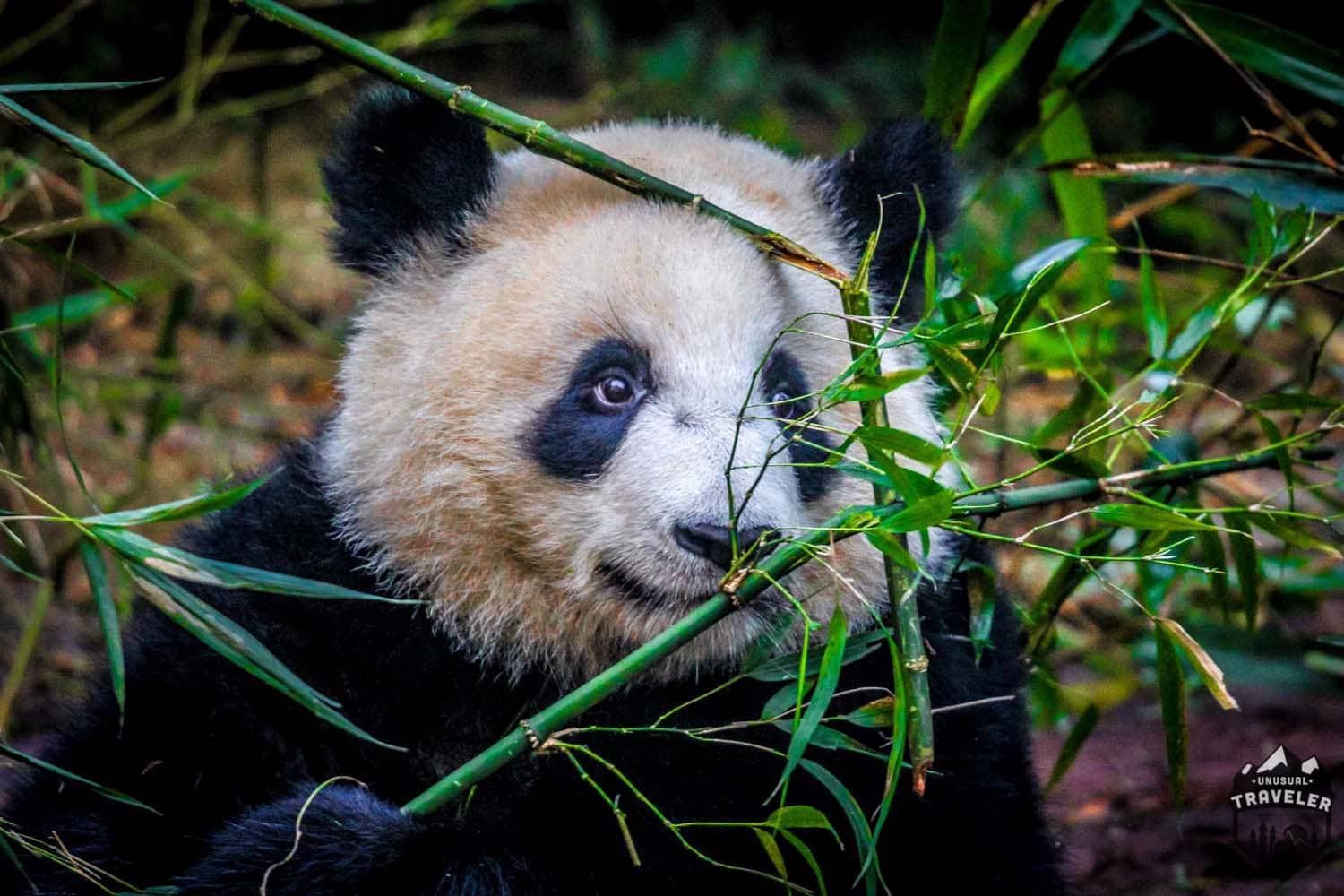#panda #bamboo #chengdu #china