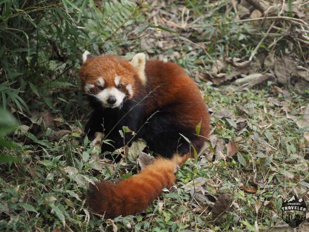 #red_panda panda #Chengdu #China