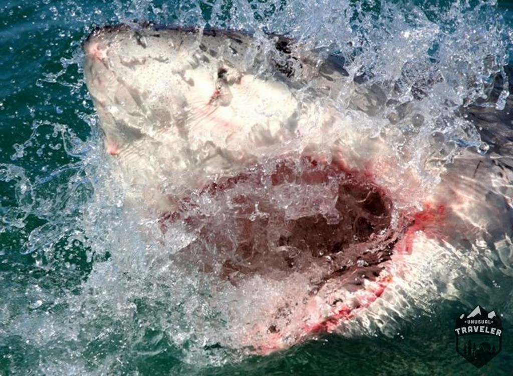 A great white shark, that came up to the boat when out sailing in South Africa, #southafrica #capetown,#shark#greatwhite