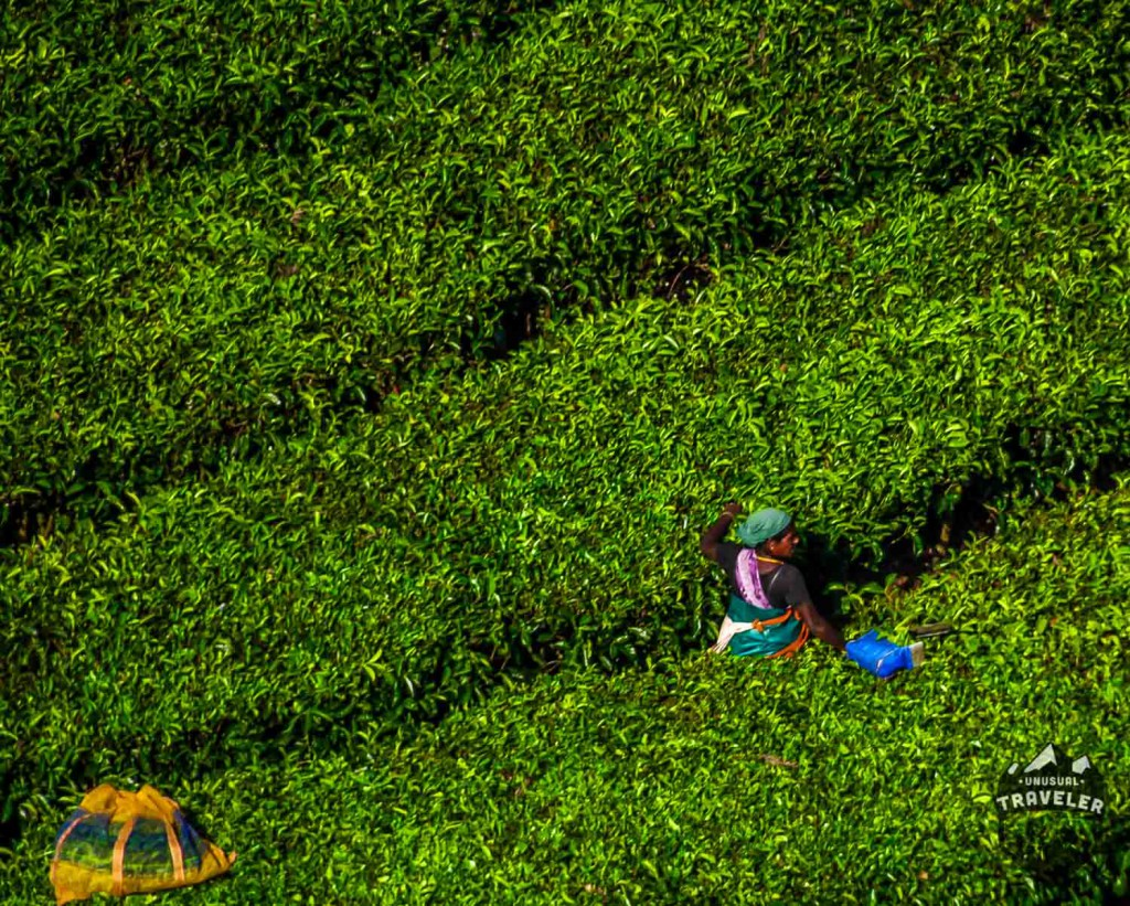 A woman picking tea leaf at a tea plantation in Sri Lanka.#srilanka,#tea,green