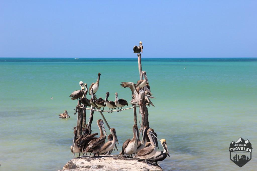 mexico,beach,paradise,cancun,holbox,island,pelicans