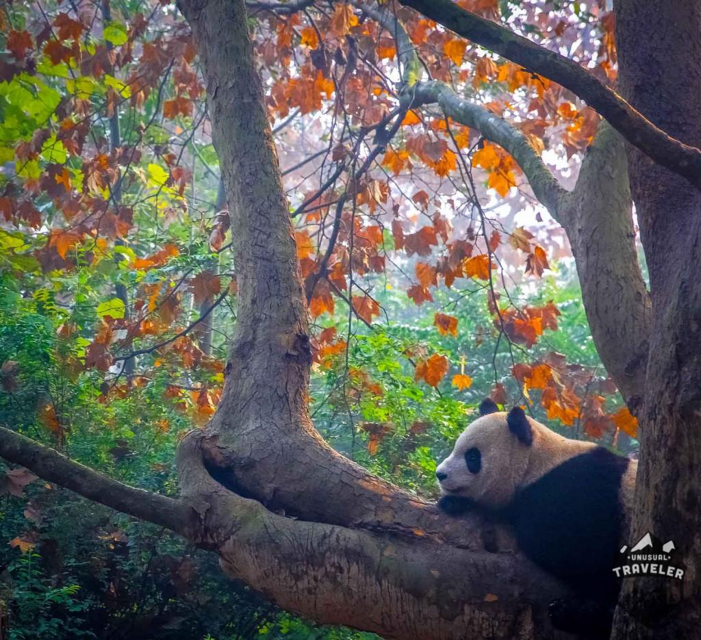 panda,giant panda,chengdu,sichuan,china,animal