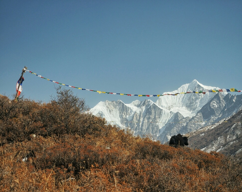 A yack enjoying the view in Langtang Valley