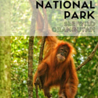 Travel guide to see Orangutangs in the wild inGunung Leuser National Park inSumatra Indonesia