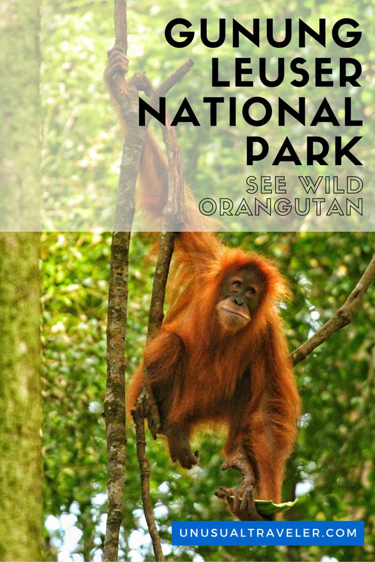 orungutan,gunung,indonesia,sumatra