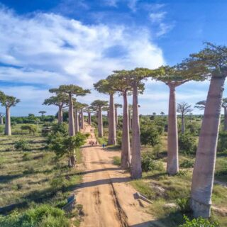 Avenue Of The Baobabs The Legendary Avenue Of Trees In Madagascar.