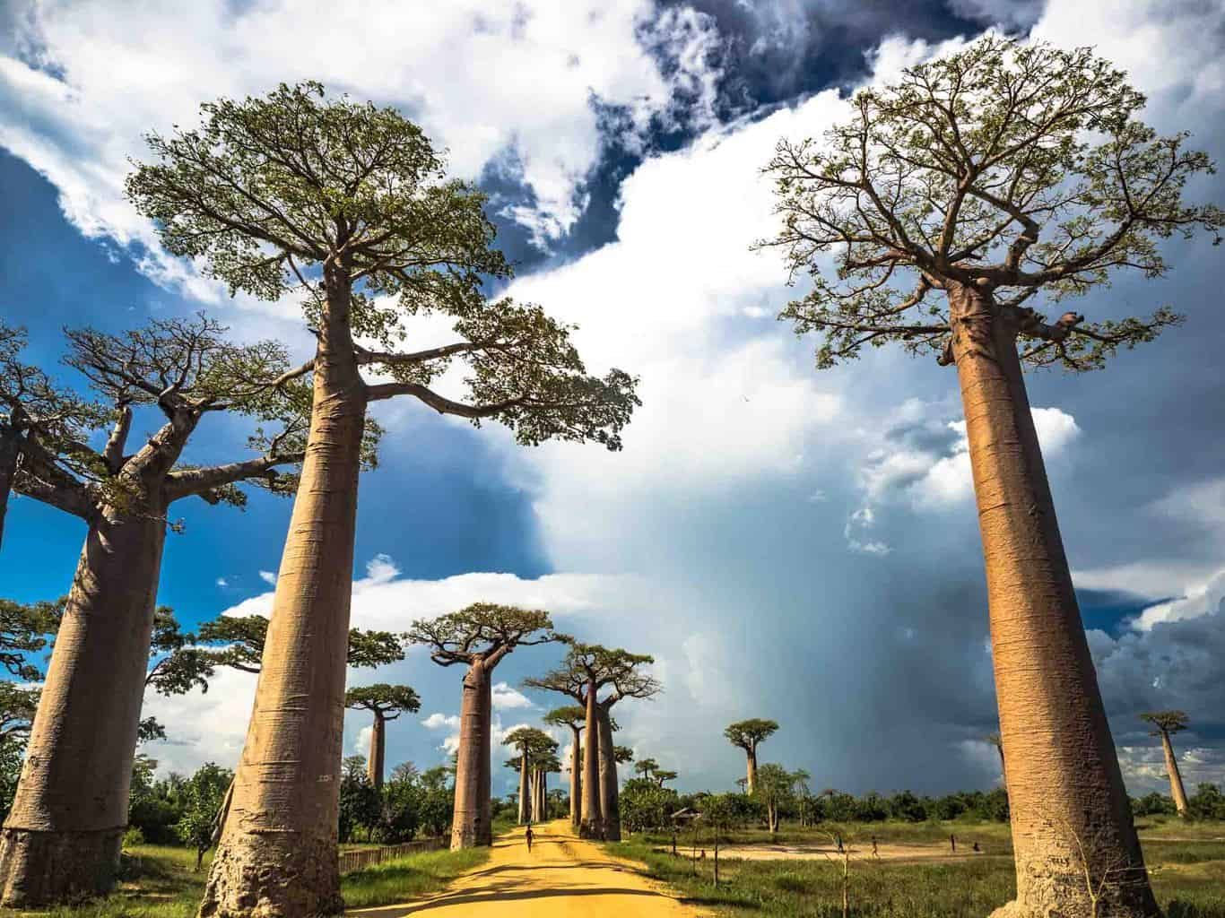 The avenue of the baobabs before the big tourist groups arrives