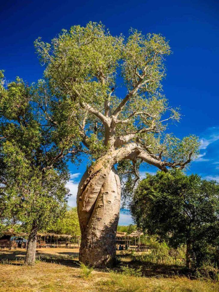 The Baobab Amoureux also called the Baobab of love Madagascar