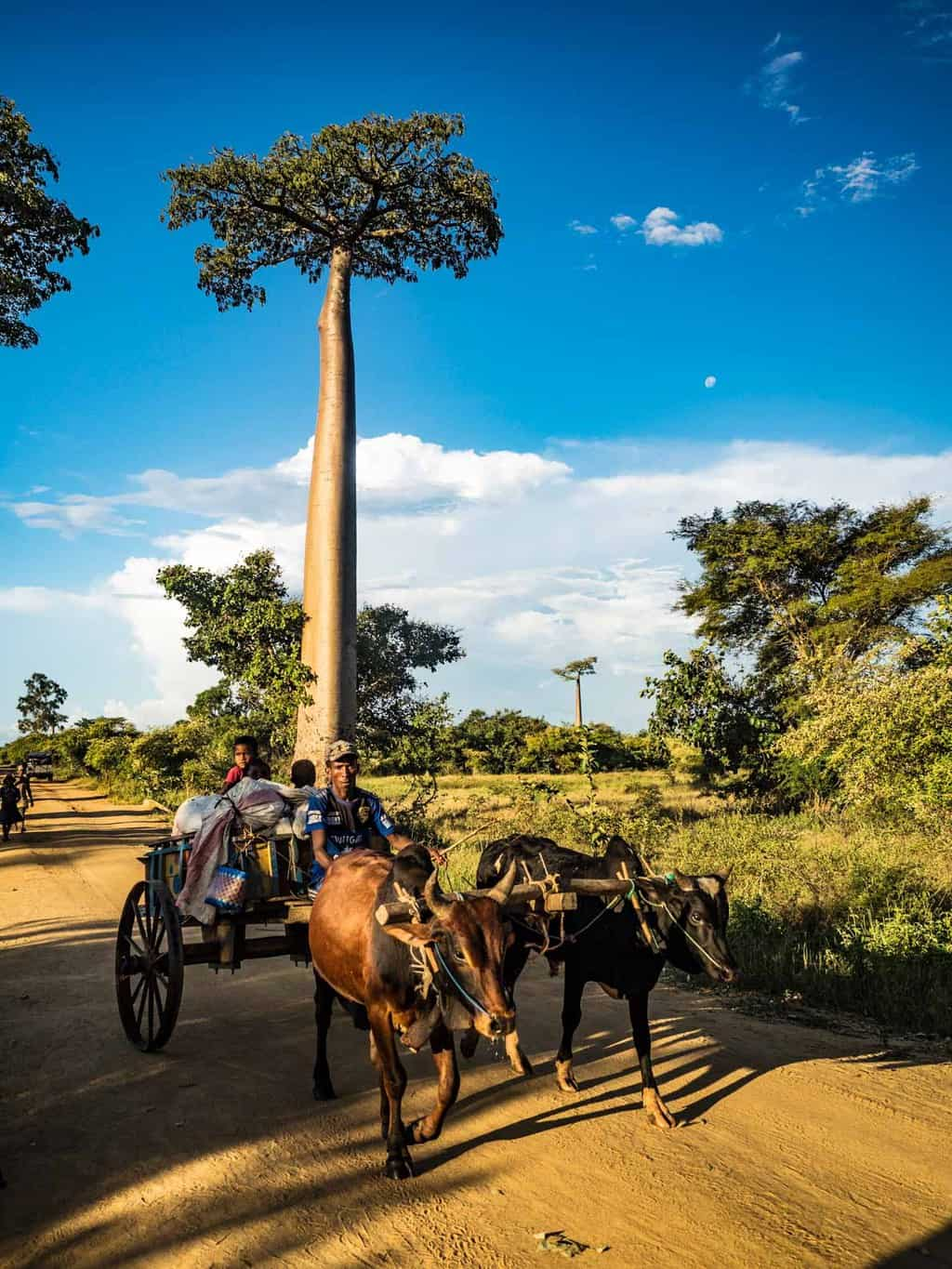tall Baobab trees with local way of transportation