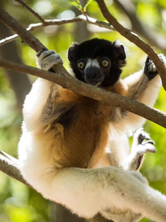 The Crowned Sifaka also native to the north western part of Madagascar. It´s considered Endangered and is now protocted