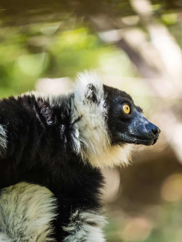 The Critically Endangered Black-and-white ruffed lemur
