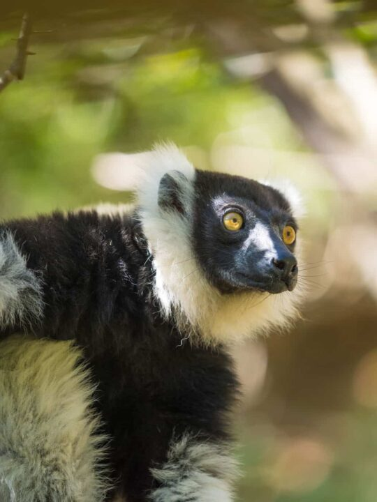 The Critically Endangered Black-and-white ruffed lemur in Madagascar
