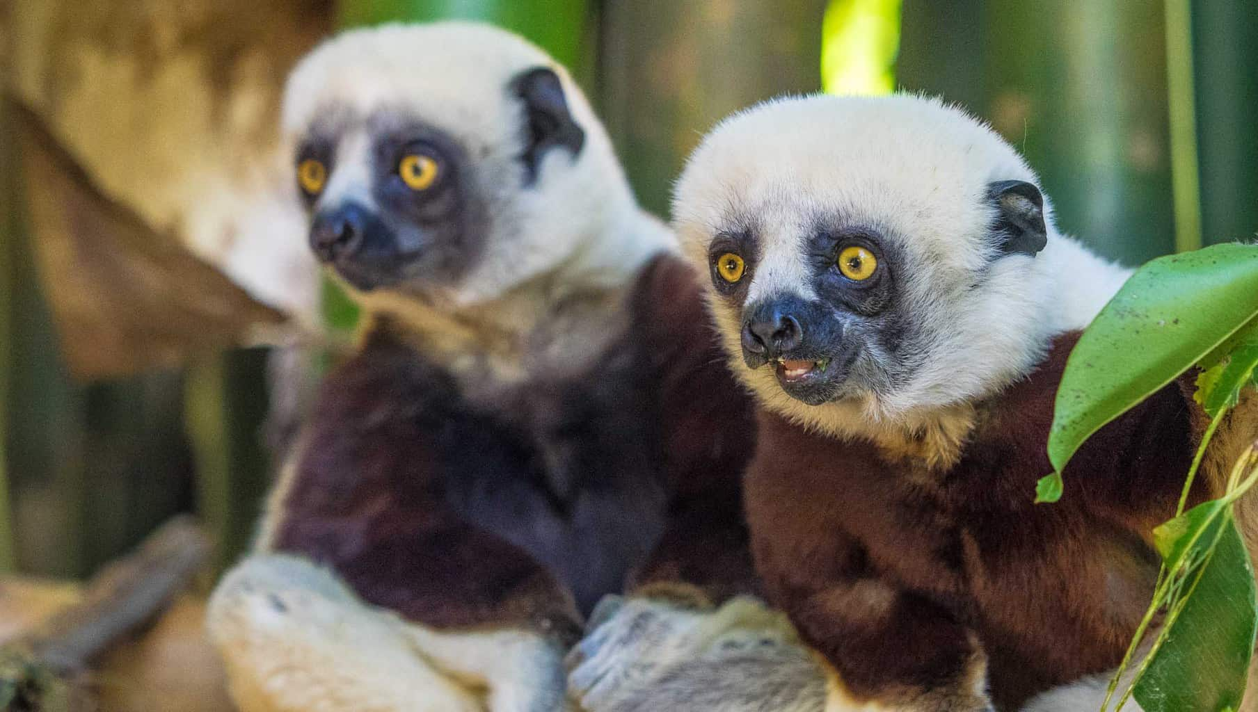 Two young Coquerel's Sifaka in the lemur park