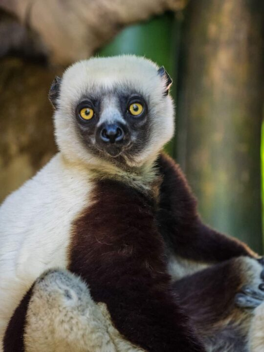 The Coquerel's Sifaka, native to north West part of Madagascar