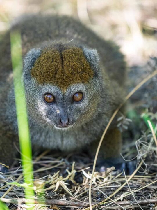 Eastern lesser bamboo Lemur in Madagascar