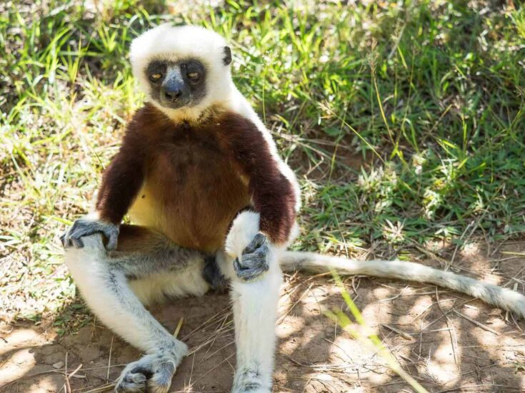 Don´t mind me, Im just sitting here in the middle of your walkway. A Coquerel's sifaka in Madagascar