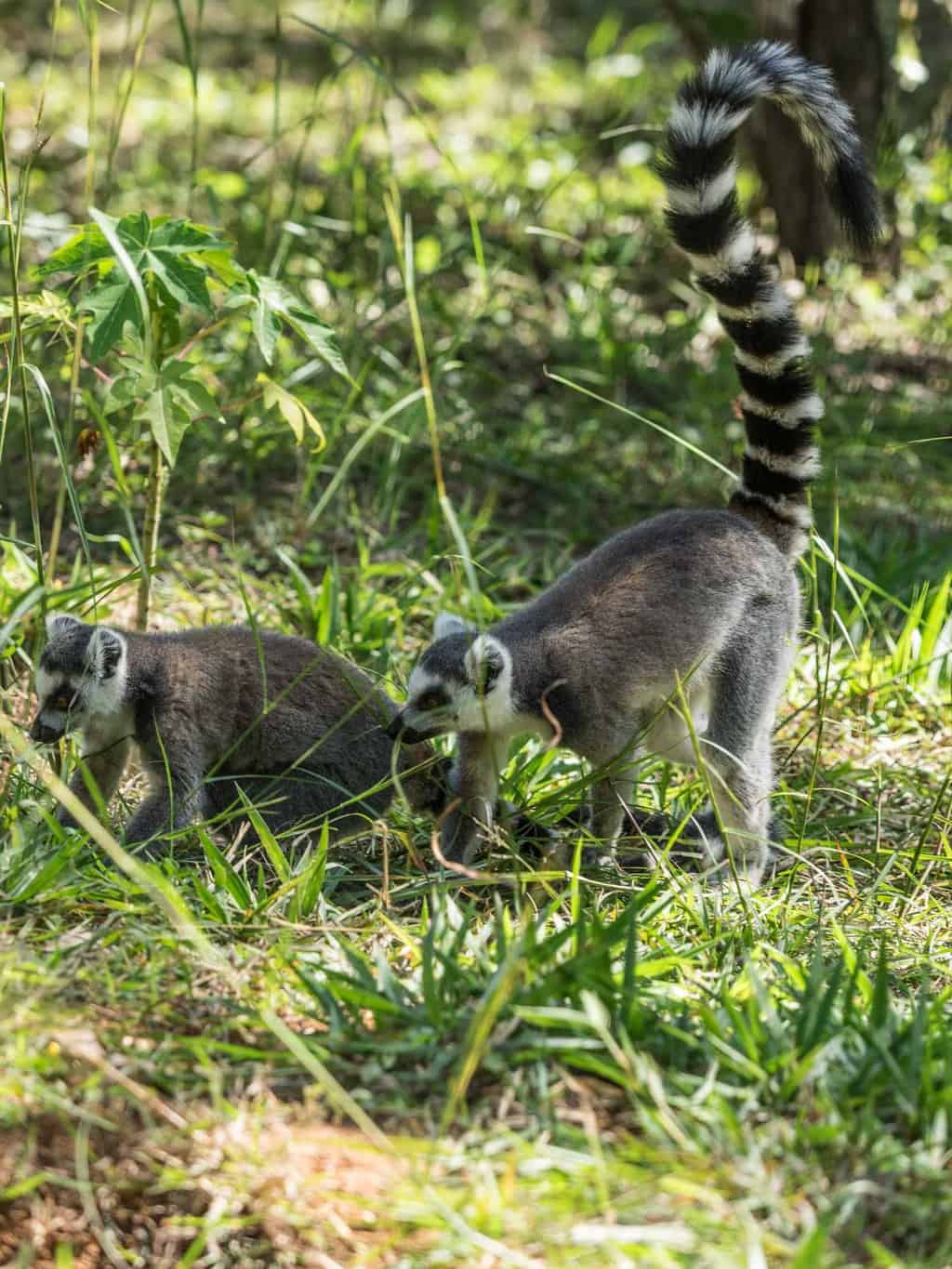 Probably the most famous of all Lemur species The Ring-tailed lemur in Madagascar