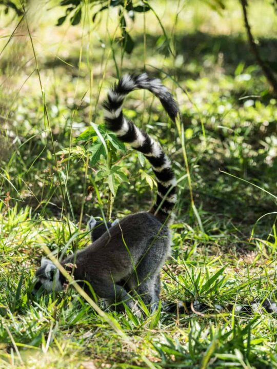 The Ring-tailed lemur is native to the south western part of Madagascar and maybe the most famous lemur