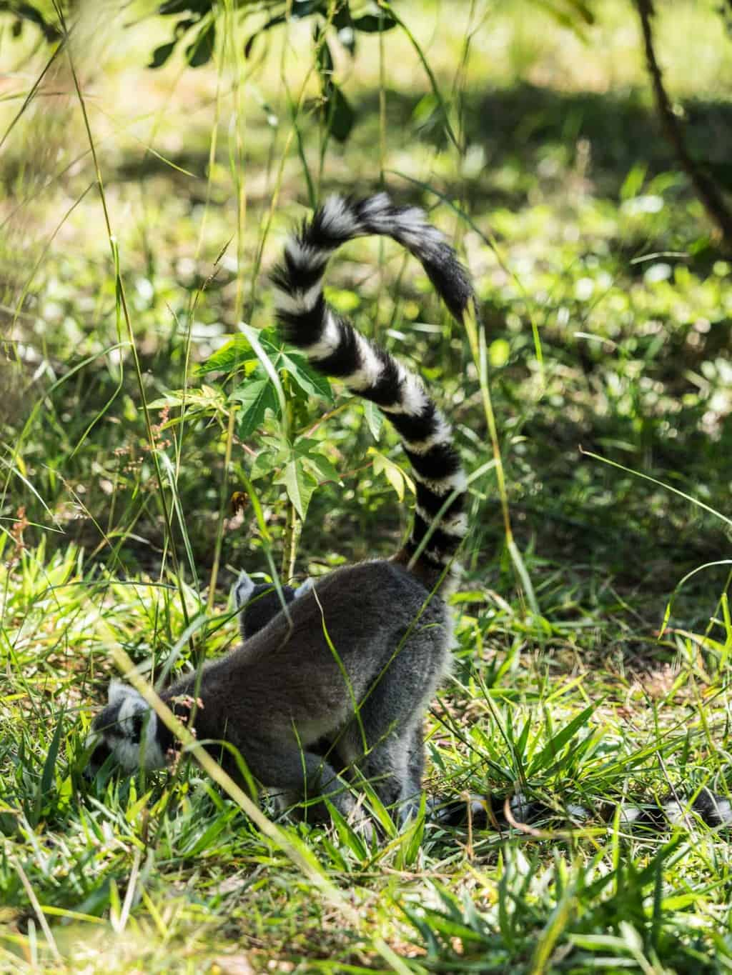 The Ring-tailed lemur is native to the south western part of Madagascar
