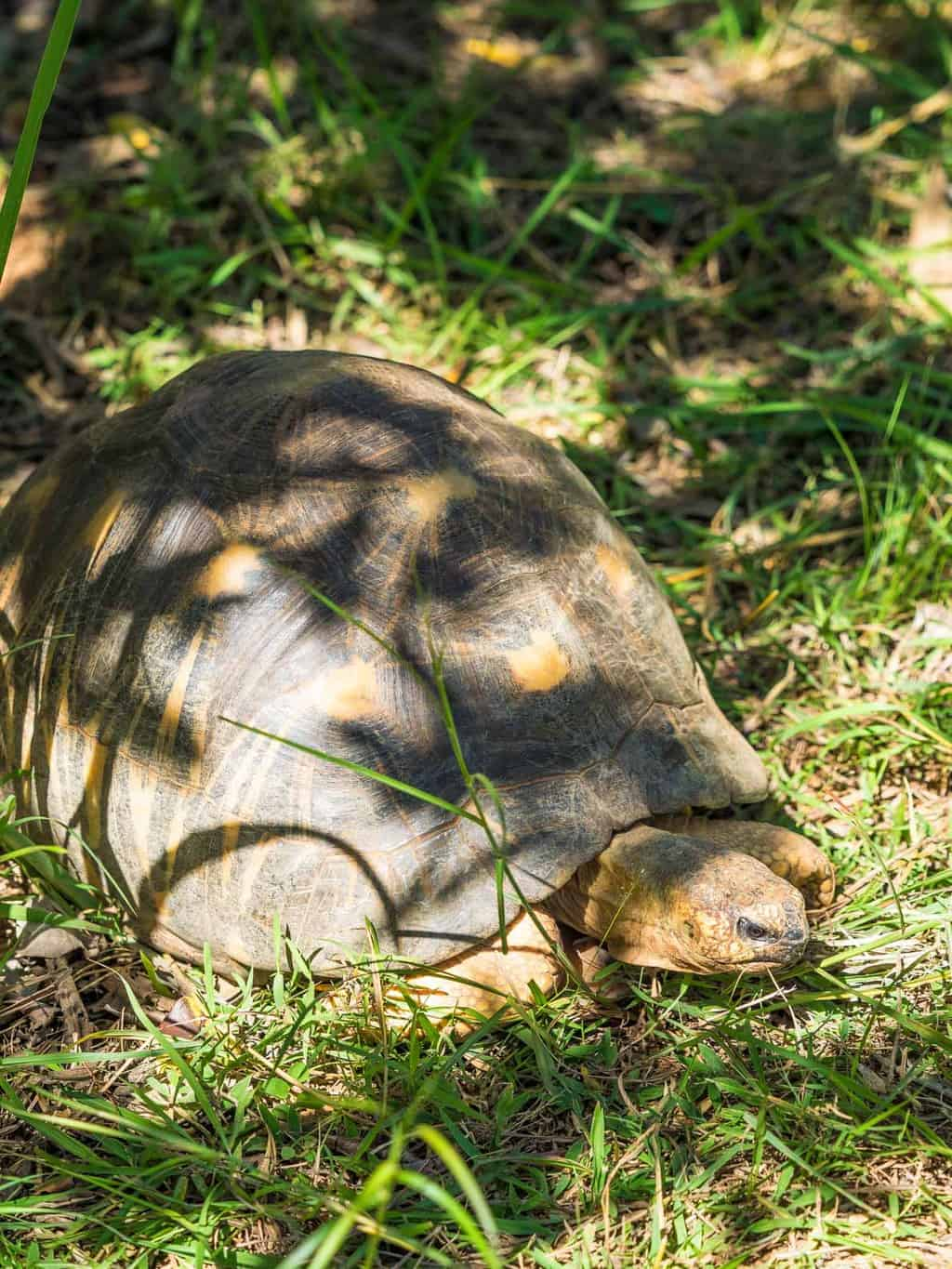 One of many Radiated Tortoise freeley walking around the park, the Radiated tortoise is Critically Endangered