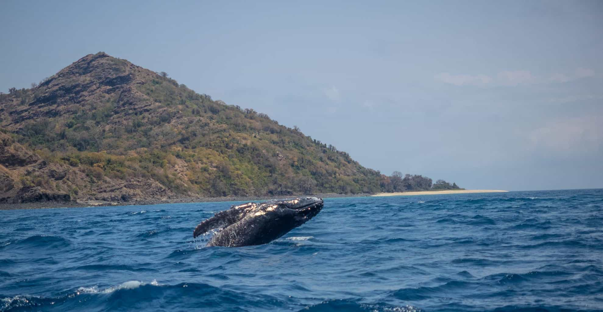 A jumping baby humpback whale