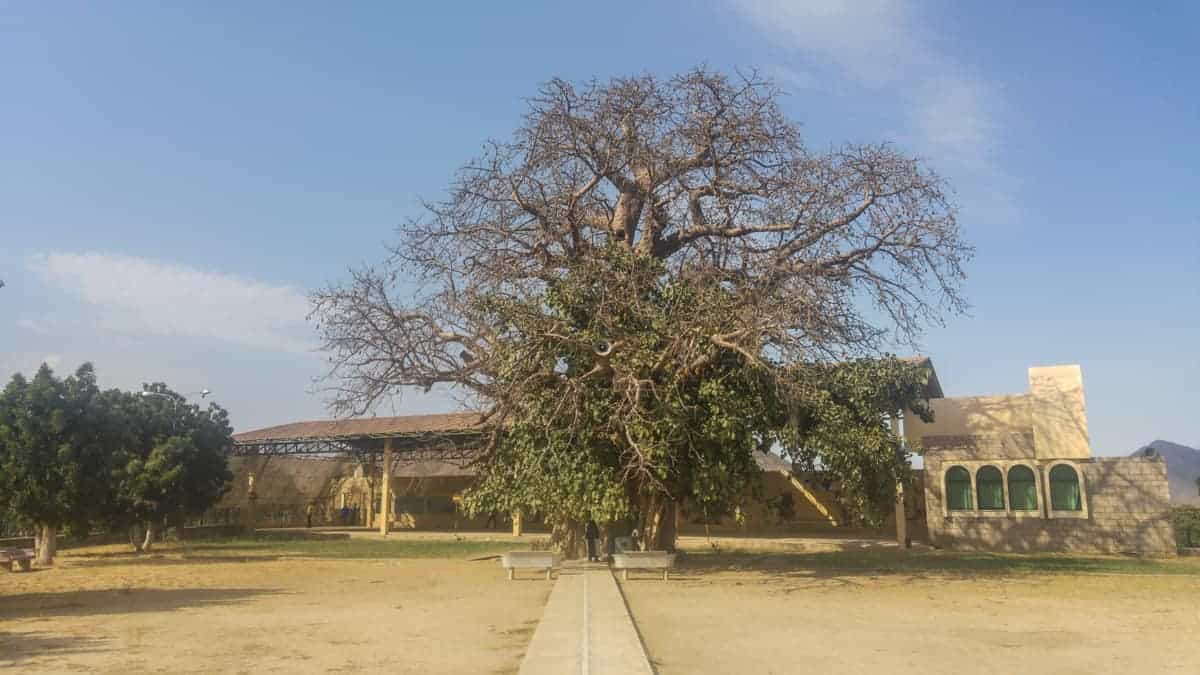 The Holy tree of The Shrine of our lady of Dearit. in eritrea