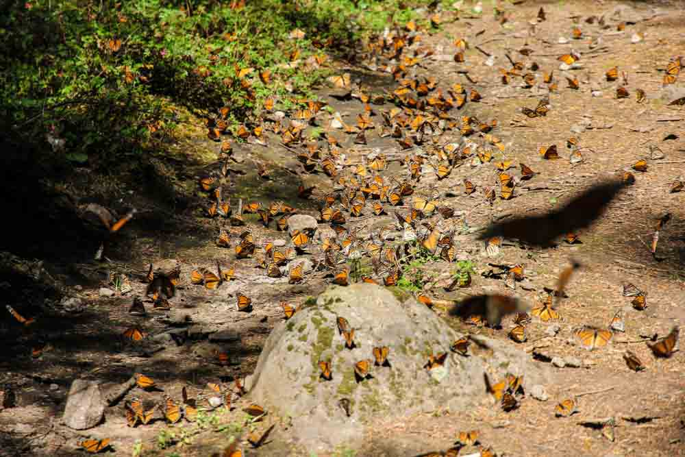 Morelia Monarch Butterfly