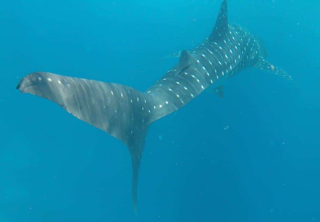 Dhigurah island whale shark in the MALDIVES