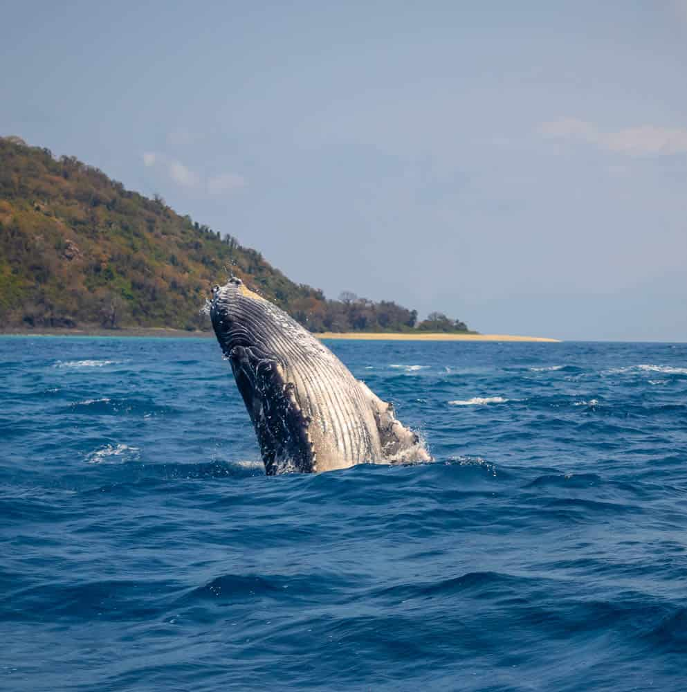 Humpback whale in comoros east africa