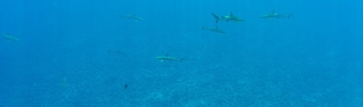 Alot of sharks swimming around bora bora