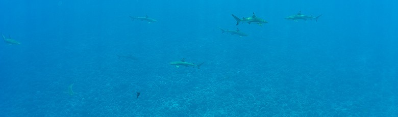 Alot of sharks swimming around in Bora Bora