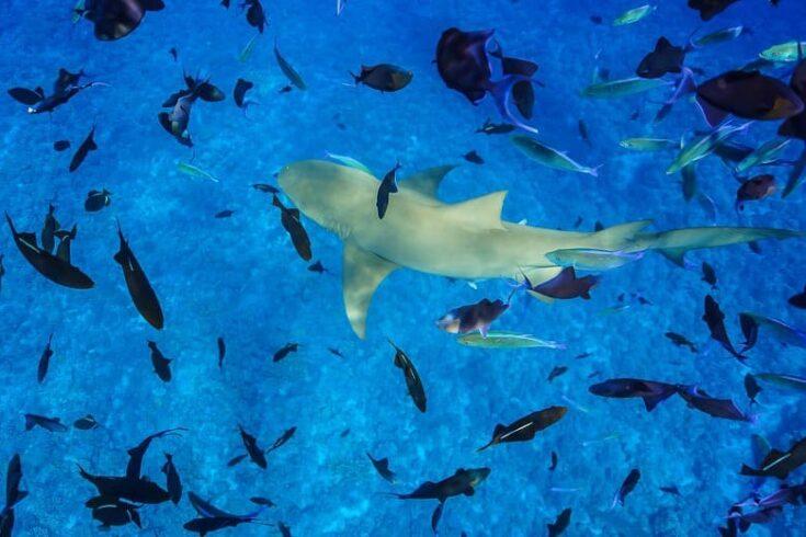 A Lemon shark swimming around