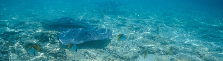3 of the many stingrays that will be swimming around your feet in the lagoon Bora Bora