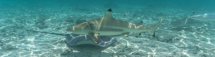 2 reef sharks and a stingray swimming around.