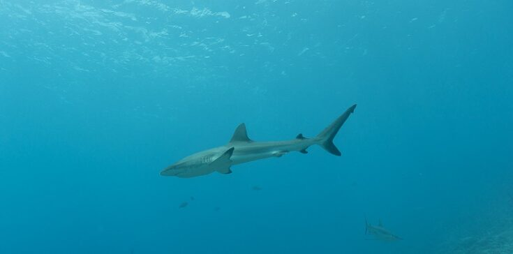 one of the reef sharks on the dive