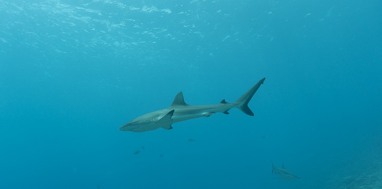 one of the reef sharks on the dive in bora bora