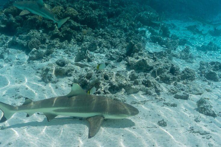 Fakarava sharks