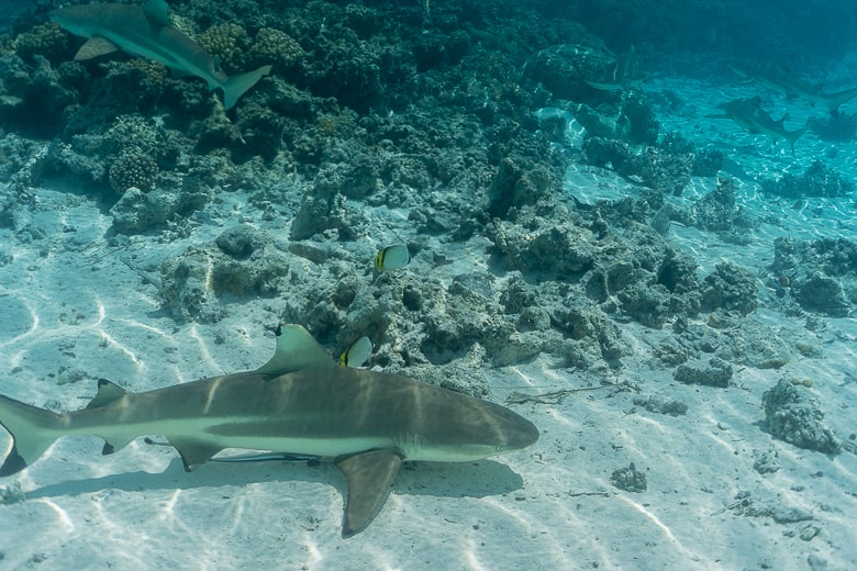 There are reef sharks everywhere. Notice there´s 5 in this photo
