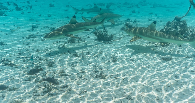 You will get pretty close to reef sharks in French Polynesia travel guide