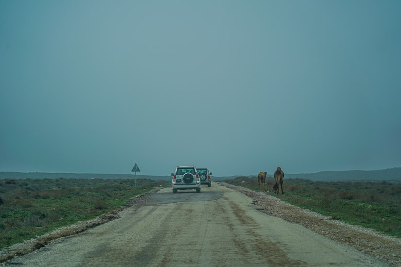 Passing a few camels along the way to Yangykala canyon in Turkmenistan