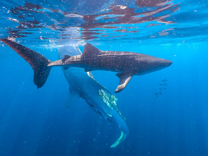 two whale sharks swimming around in Nabire.