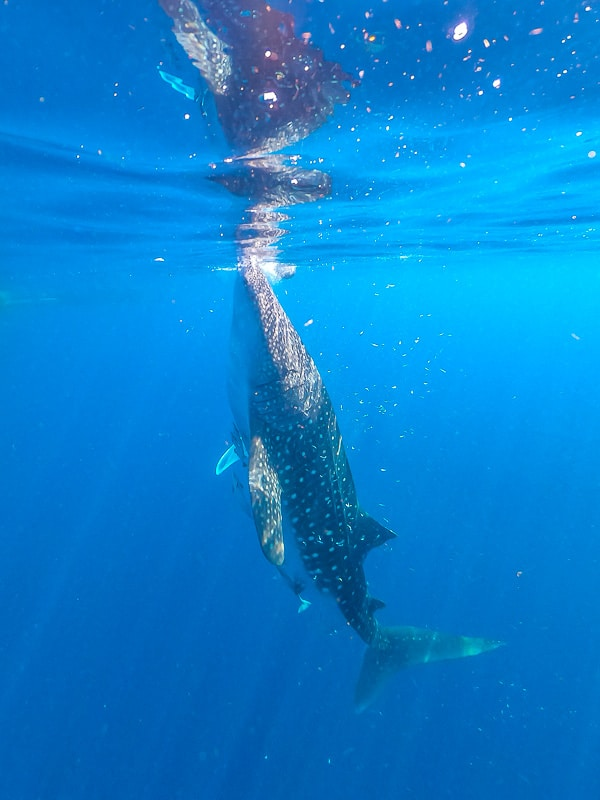 Travel Guide to swim with whale sharks in Indonesia